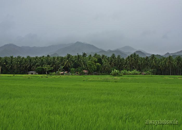 rice fields2
